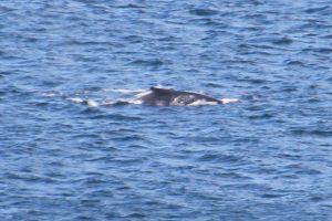 Wal vor Byron Bay